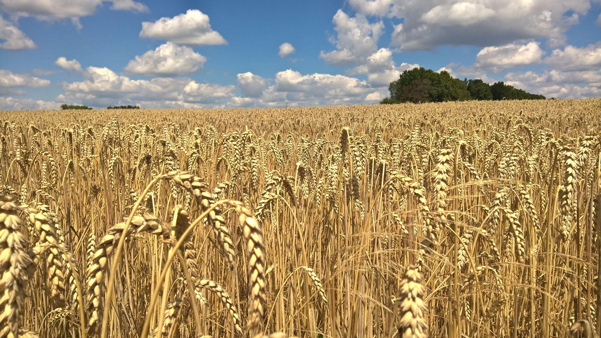В Казахстане создали новый сорт пшеницы
